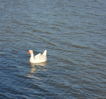 A goose, golden in sunlight, paddles across the waves of a pond.