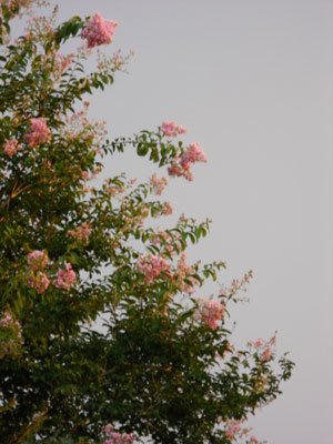 A crepe myrtle tree with pink blooms