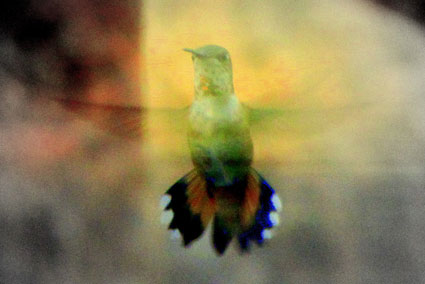 A hummingbird, mid-flight, with a yellow light on its wings.