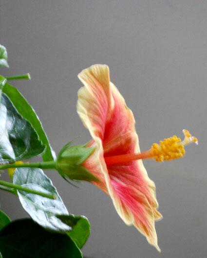 An open hibiscus flower