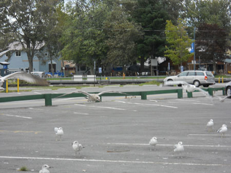 A flock of seagulls hang out on a parking lot.