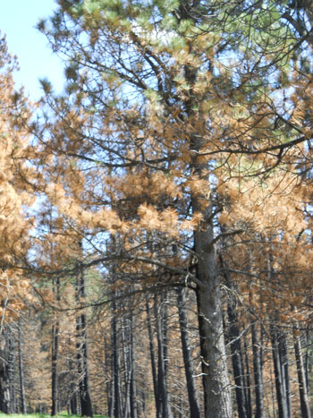 A grove of burnt pine trees in Bandelier National Park